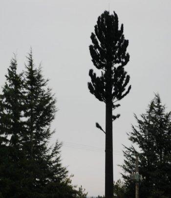 Les apparences sont trompeuses : ce grand pin est une antenne-relais de téléphonie mobile. Photo DDM, L.M.