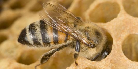 Les insecticides Gaucho, Régent ou Cruiser sont mis en cause par des ONG dans l'effondrement des colonies d'abeilles.