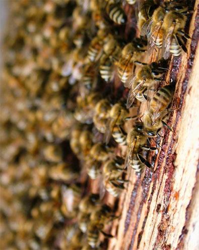 """Les ondes de nos téléphones """"fatales"""" pour nos abeilles"""